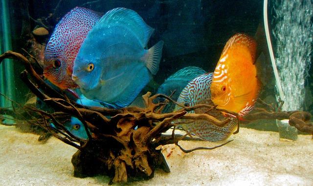 Pielęgnacja dyskowców – królów akwarium