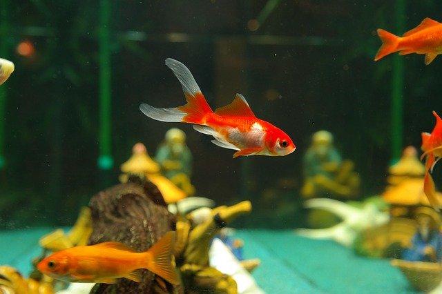 Tropikalne akwarium słodkowodne, klasyk wśród akwariów